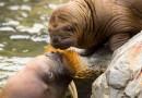 Sterke toename tumoren bij zeedieren in Stille Oceaan | VS en media negeren radioactiviteit van Fukushima