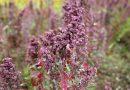 Wat is quinoa? Een van 's werelds meest gezonde voedingsmiddelen