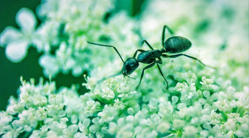 Sugar ants