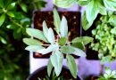 Sage boosts moods, memory and multitasking