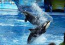 """Orkatrainer SeaWorld: """"De dieren leven in barbaarse en gruwelijke omstandigheden"""""""