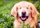 Geboren zonder ogen, Smiley de Golden Retriever word een liefdevolle therapie hond.