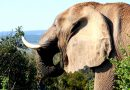 Belangrijk: China stopt met de handel in ivoor