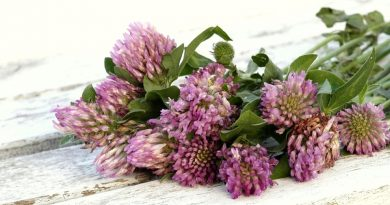 6 Hormone balancing powers of red clover