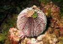 Hawaï gebruikt zee-egels om koralen te redden van algeninvasie