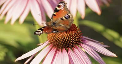 uses echinacea