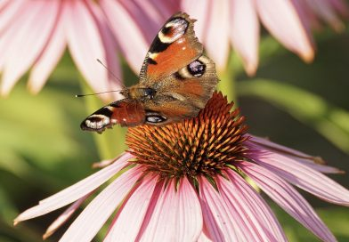 The benefits and uses of echinacea – and how to grow your own!