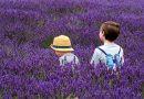 'Lavendel helpt net zo goed als valium'