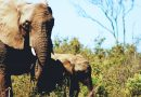Elephants are evolving and losing their tusks to survive poaching