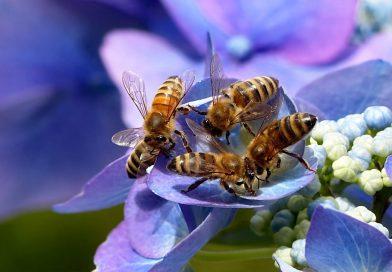 Studie: Bijen kunnen eenvoudige sommen maken