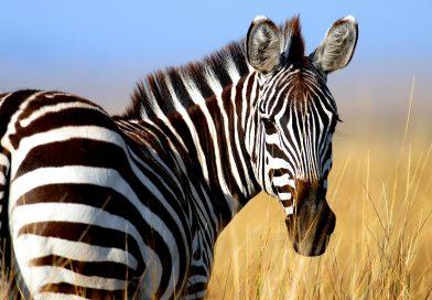 Zebra strepen vormen een vliegverbod voor vliegen