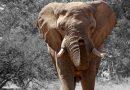 Olifant herinnert zich verzorger na 32 jaar