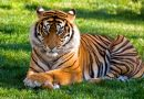 Nepal is het eerste land dat het aantal wilde tijgers verdubbelt