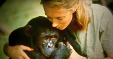 Jane Goodall's life story: the pioneer who dedicated her life to the animal kingdom