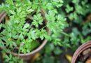 8 verrassende gezondheidsvoordelen van koriander