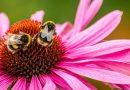 Met ieder kopje dat je van deze kruidenthee drinkt, zorg je voor meer blije bijen én boeren
