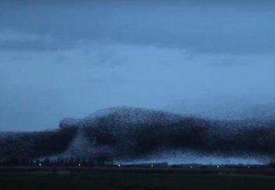 Spectaculaire spreeuwendans in Friesland: Zelden zoveel vogels bij elkaar