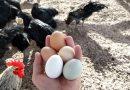 Waarom zijn bruine eieren duurder dan witte?