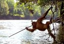 A rare photo of orangutan using a spear tells us he is NOT monkeying around