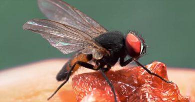 Wat wel en niet te doen tegen fruitvliegjes