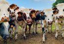 Koeien groeten elkaar én mensen