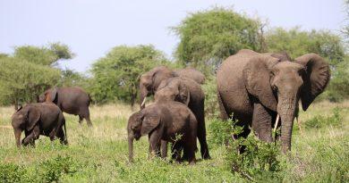 Een heuse olifanten babyboom in Kenia's Amboseli National Park: 140 babyolifanten geboren